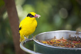 Feeding Black-naped Oriole of Eastern Asia with Worm in Beak — Stock Photo
