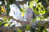 Sulawesi Green Imperial-pigeon of Indonesia — Stock Photo