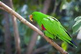 Male Indonesian Eclectus Parrot — Stock Photo