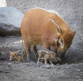 Visayan Warty Piglet with Mother — Stock Photo