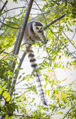 The Rare Lemur Feeding in Trees — Stock Photo