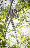 The Rare Lemur Feeding in Trees — Stock Photo