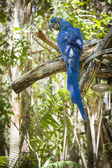 The Endangered Hyacinth Macaw of South America — Stock Photo
