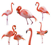 Collection of Flamingos Isolated on White — Photo