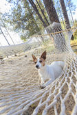 Relaxed jack Russell Terrier Relaxing in a Hammock — Stock Photo