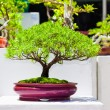 Japanese bonsai trees — Stock Photo