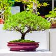 Japanese bonsai trees — Stock Photo