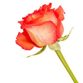 Red rose isolated on white — Stock fotografie