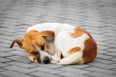 Abandoned dog sleeping on the street — Stock Photo
