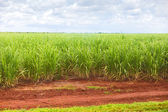 Sugar cane plantation in Cuba — Stock Photo