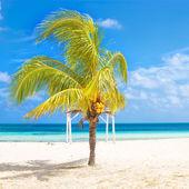 Coconut tree at a tropical beach in Cuba — Stock fotografie