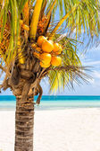 Close-up van een coconut palm bij een tropisch strand in cuba — Stockfoto