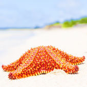 Bright red starfish (sea star) on a beach — Stock Photo