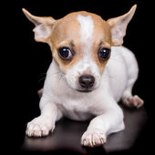 Chihuahua puppy lying on a black background — Stock Photo