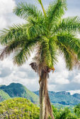 The Vinales Valley in Cuba with a  royal palm tree — Stock Photo