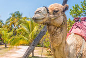 Domesticated camel and palm trees — Stock Photo