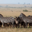 Zebras and wildebeests in the Maasai Mara National Park, Kenya — Foto de Stock