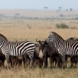 Zebras and wildebeests in the Maasai Mara National Park, Kenya — Photo