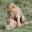 Two lions mating in the Masai Mara Game Reserve in Kenya, East Africa — Stock Photo
