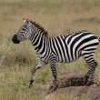Plains Zebr(Equus Quagga) on Savannah, Maasai Mara, Kenya — Stock Photo #17632605
