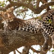 Royalty-Free Stock Photo: Wild leopard lying in wait atop a tree in Masai Mara, Kenya, Africa