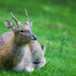 Foto Stock: Deer sitting in grass