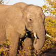 African elephant in Kruger National Park, South Africa - Stock Photo