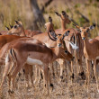 Female impala antelopes, Kruger National Park, South Africa - Stock Photo
