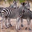 Zebras in Kruger National Park, South Africa — Stock Photo #17632841
