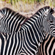 Zebras in Kruger National Park, South Africa — Stock Photo #17632847