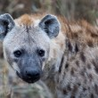Spotted Hyena in Kruger National Park, South Africa - Stock Photo