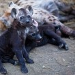 Hyena Cub and Mother in Kruger National Park, South Africa — Stock Photo