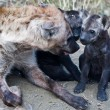 Foto de Stock  : HyenCub and Mother in Kruger National Park, South Africa