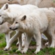 Large adult arctic wolves in forest — Stock Photo #17632953