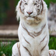 White Bengal Tiger — Stock Photo #17632979