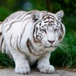 White Bengal Tiger — Stock Photo #17632985