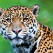 Stock Photo: Jaguar - Pantheronca.
