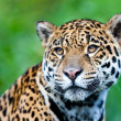 Jaguar - Panthera onca. - Stock Photo