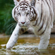 White Bengal Tiger — Stock Photo #17633023