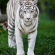 White Bengal Tiger - Stock Photo