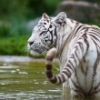 White Bengal Tiger - Photo
