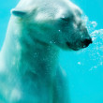 oso polar bajo el agua — Foto de Stock