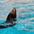 Beautiful young seal swimming in the pool - Photo
