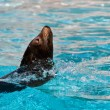 Beautiful young seal swimming in the pool - 