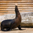 Sea ​​lion on the representation — Stock Photo #17633099
