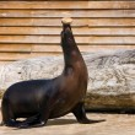 Sea lion on the representation — Stock Photo