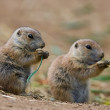 Prairie dog — Stock Photo #17633121