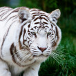 White Bengal Tiger — Stock Photo #17633199