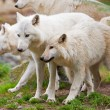 Large adult arctic wolves in forest — Stock Photo #17633267