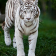 White Bengal Tiger. The white tiger is a recessive mutant of the Bengal tiger, which was reported in the wild from time to time in Assam, Bengal, Bihar and especially from the former State of Rewa. — Stok fotoğraf